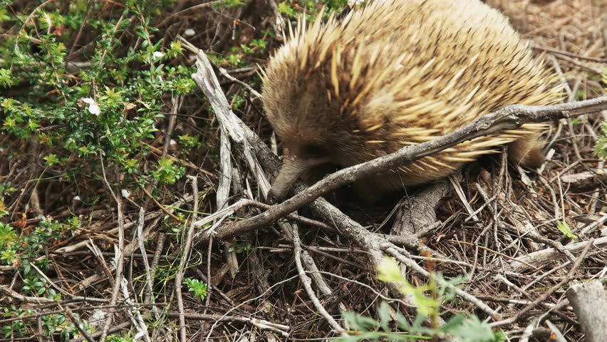 close up of an echidna foraging at cape pillar on the three capes track in tasmania, australia