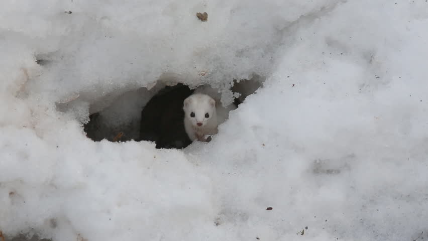 Weasel in winter plumage carefully peeks from a mink in the snow