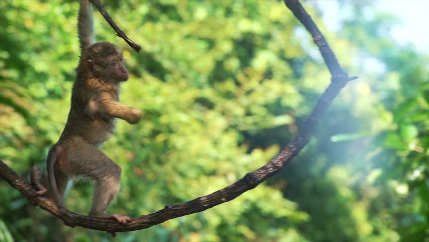 Baby monkey hanging on liana in lowland rainforest | Shutterstock HD Video #24304916