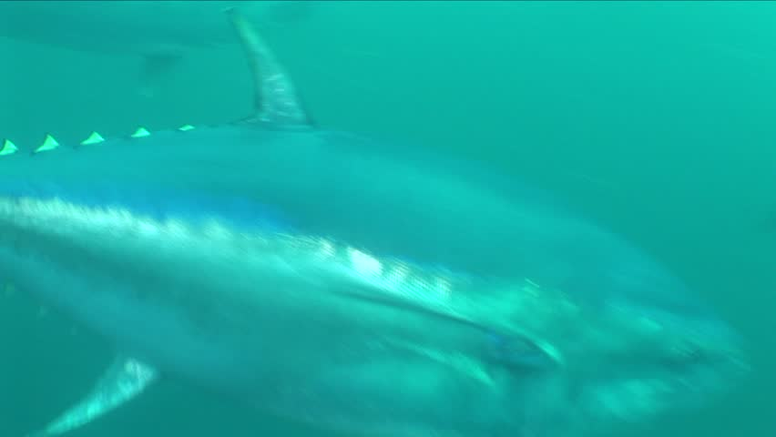school of tuna fish underwater swimming big fish