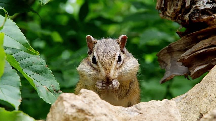 Chipmunk eating sunflower seeds...