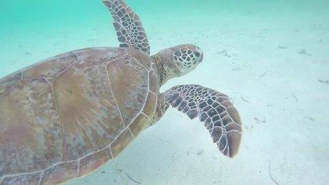Sea Turtle Swimming in Noumea, New Caledonia. Underwater Go Pro Footage.