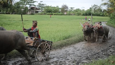 Bali, Indonesia - September, 2016: Makepung – Buffalo Races in Bali. A cultural tradition. The dressed up bovines hooked up to wooden plough with jockey in competitions in Bali, Indonesia, 2016.