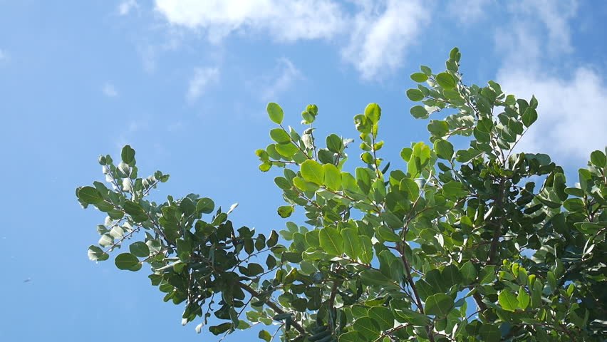Carob tree (ceratonia siliqua) branches swaying in the wind under a sunny and blue sky with a few clouds