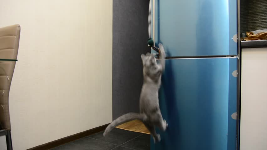 Cat playing jumping on the refrigerator handle to the toy. Breed Russian Blue