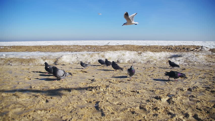 Pigeons And Seagulls Eat Bread On The Beach In Winter Frozen Ice Covered Sea Background Slow Motion 96 Fps Many Hungry Gulls Fly Air