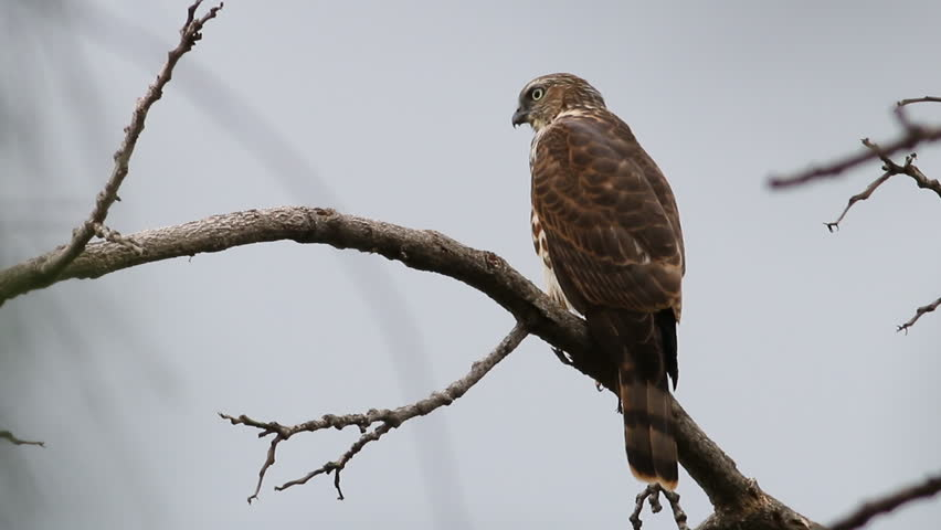 Header of Accipiter badius