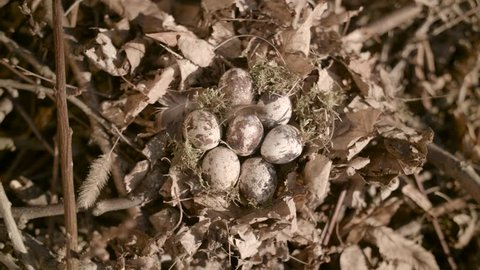 Ground nest with quail eggs hidden in nature. Shot,video