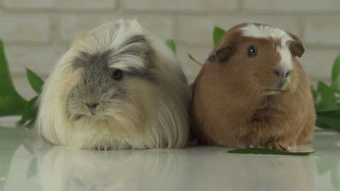 Two guinea pigs talk as the announcers on television humor stock footage video