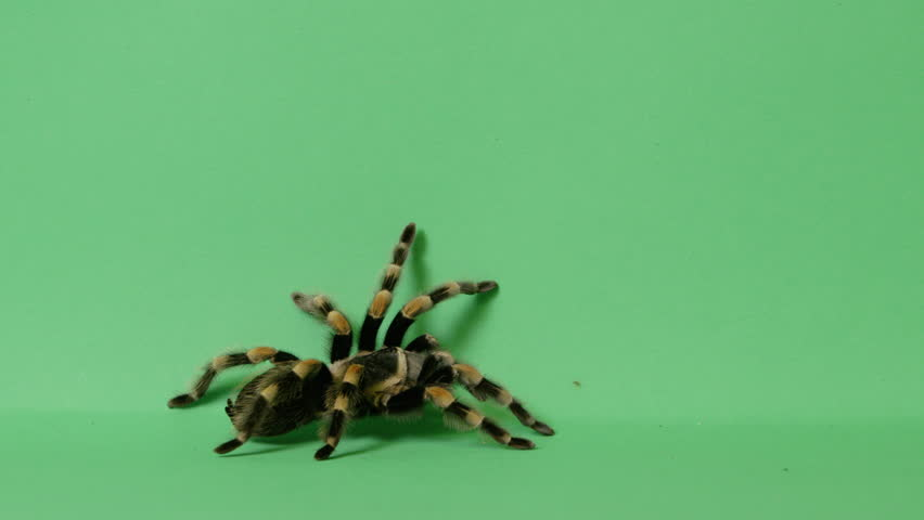 black and yellow tarantula spider crawling out of frame on green screen