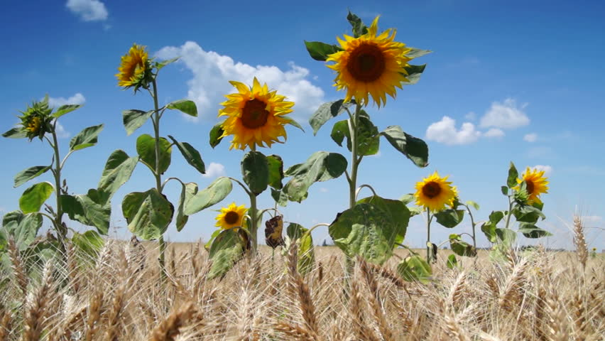 Image result for sunflowers in a cornfield