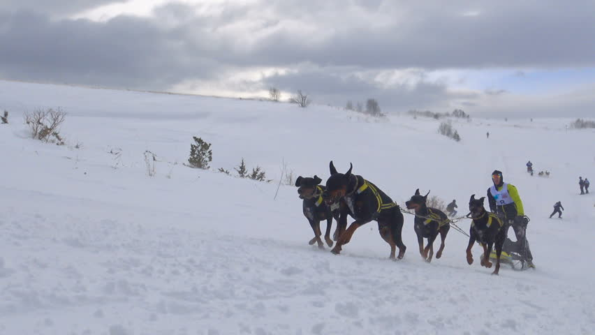 Aerial View Of Working Dog Sledge Male Handler Mountain Plateau - Usa northern hemisphere