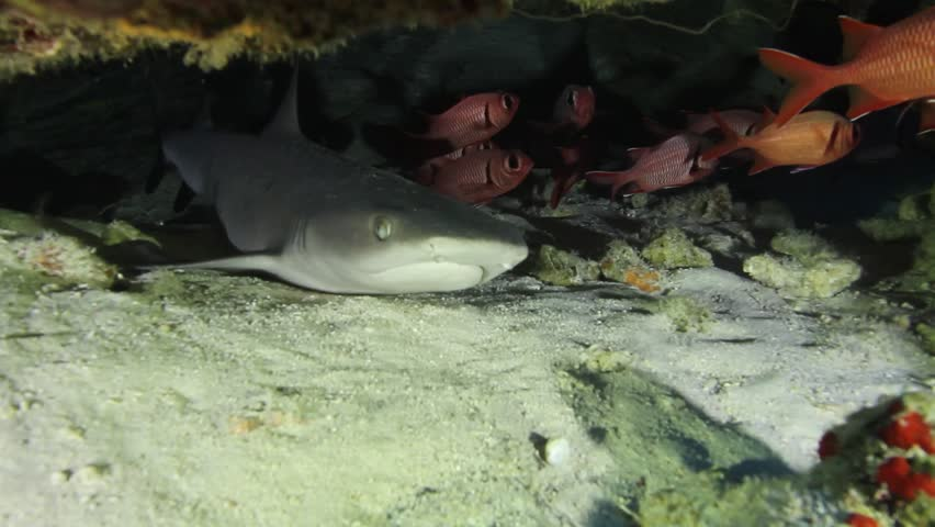 Small, young white tip reef shark swims in circles under coral crusted ledge, maui, molokin