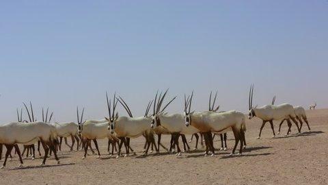 Herd of Arabian oryx, an endangered large antelope species, in the desert near Al Qudra in Dubai in the United Arab Emirates in Arabia.