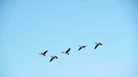Geese flying in slow motion