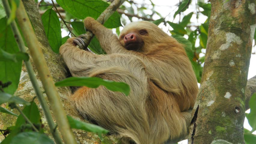 Close up of sloth sleeping on a branch costa rica | Shutterstock HD Video #24790598