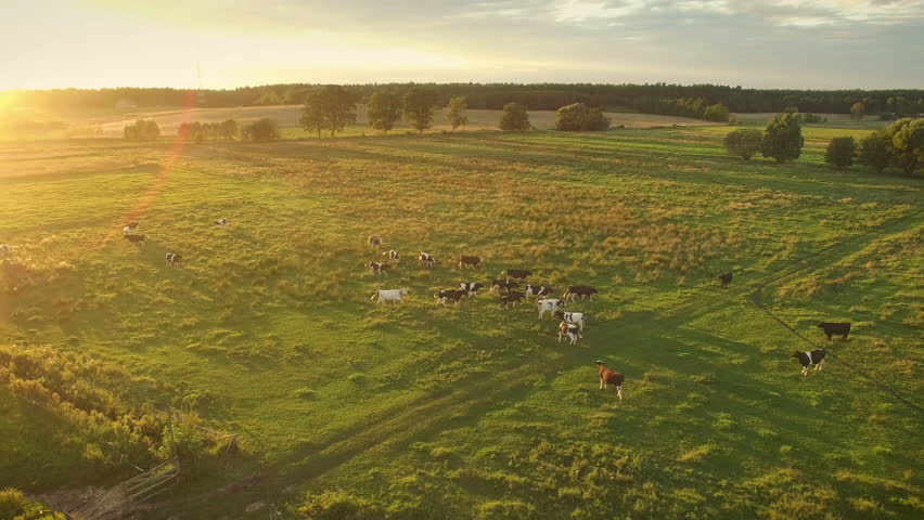 Aerial Shot of a Cows Grazing on a Beautiful Meadow. It's Warm and Sunny Day. Shot on Phantom 4K UHD Camera.