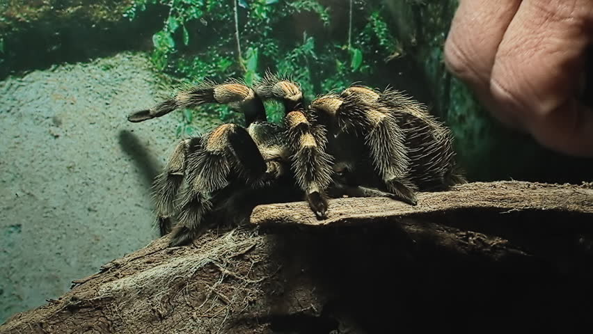 A tarantula (hairy arachnid belonging to the Theraphosidae family of spiders) in a box, moved by a human finger. Close-up shot.