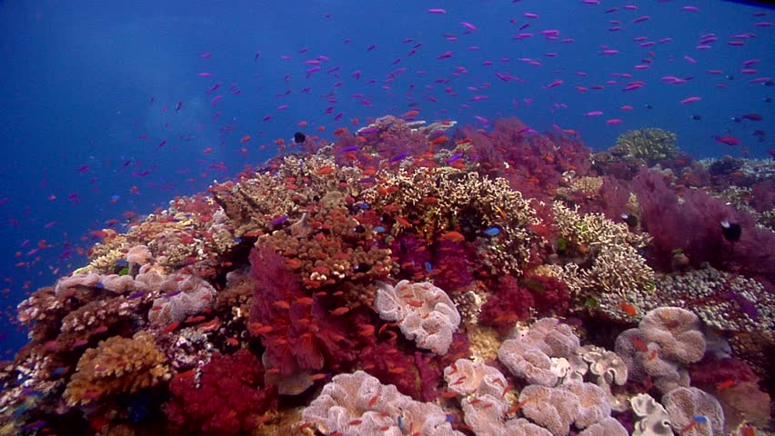 Adult and young ocean scenery underwater in Fiji Islands