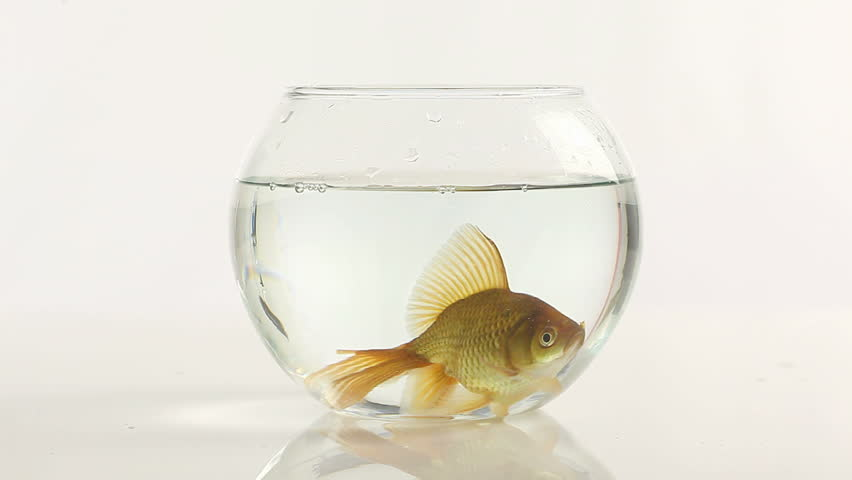 one goldfish swimming in little fish bowl