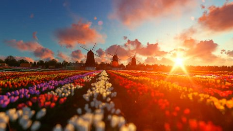 Traditional Dutch windmills with vibrant tulips in the foreground over sunset, panning