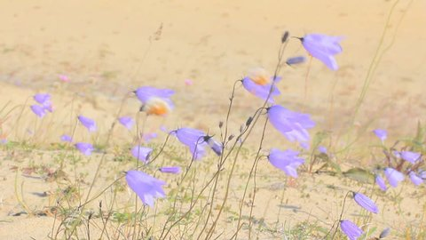 Cute little bluebell (lady's-thimble, witches'-bells, bluebell of Scotland Campanula rotundifolia) tremble in wind, among sand dune