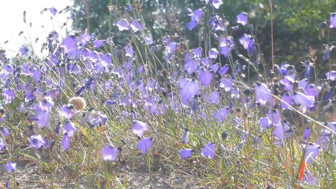 Bluebell (lady's-thimble, witches'-bells, bluebell of Scotland Campanula rotundifolia) tremble in wind, among sand dune