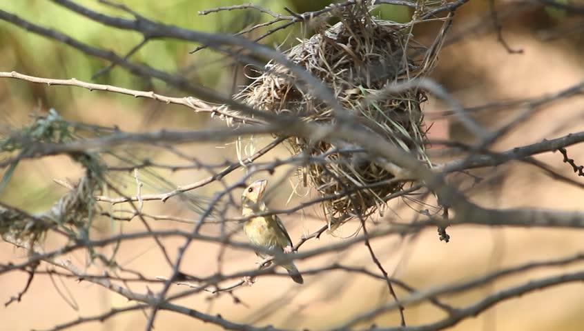 A weaverbird built the nest | Shutterstock HD Video #24919088
