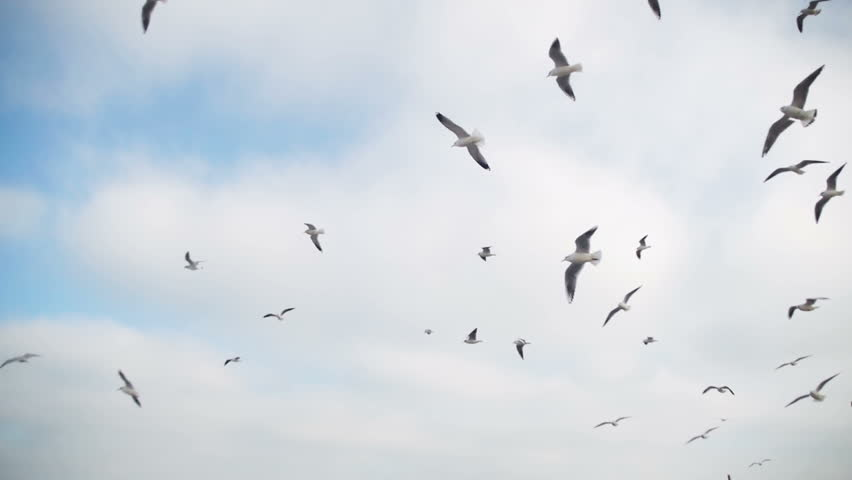 Seagulls Flying in the Air and Catch Food on Blue Sky Background. Slow Motion in 96 fps. Close-up. Many hungry gulls fly in the air and catch pieces of bread. Hungry birds.