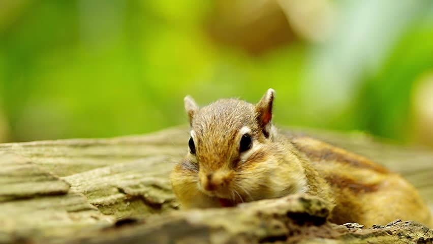 Chipmunk stuffing with food