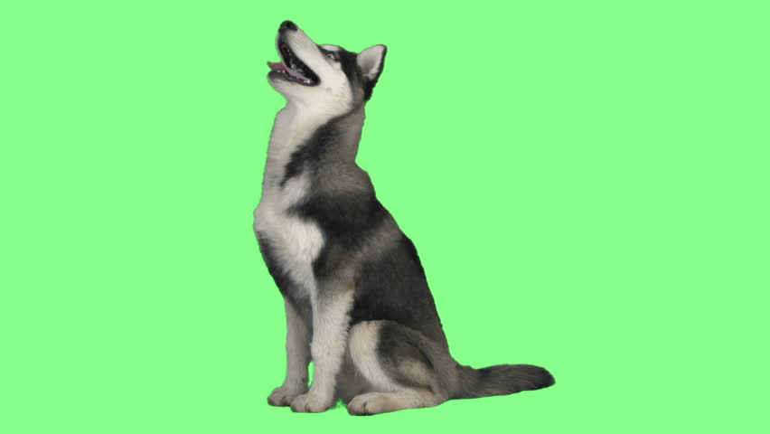 Funny dog on green screen | Shutterstock HD Video #24962168