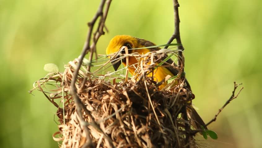 A weaverbird built the nest, Thailand   Shutterstock HD Video #25031138