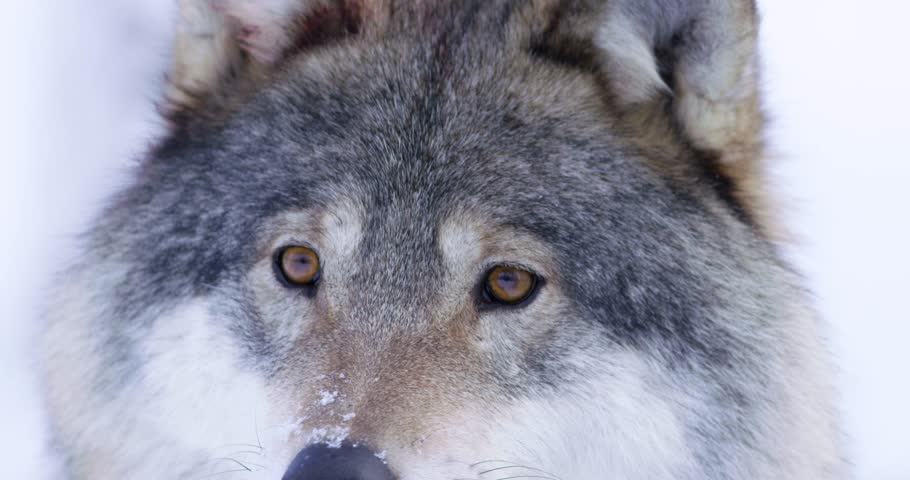 close-up of beautiful wolf eyes in the wild
