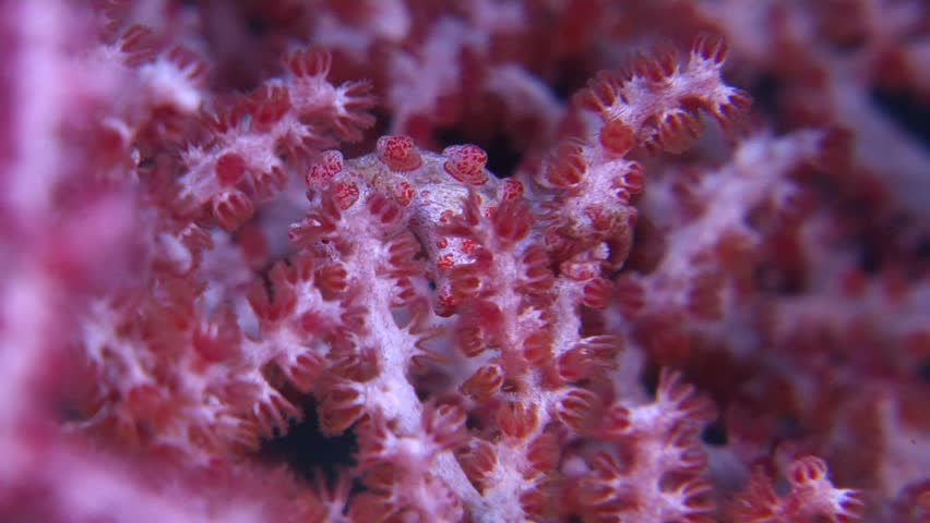 Pygmy seahorse (Hippocampus bargibanti) looking around underwater in Indonesia