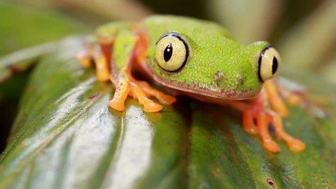 Leaf Frog (Agalychnis hulli). On a leaf in rainforest, blinks eye, Ecuador