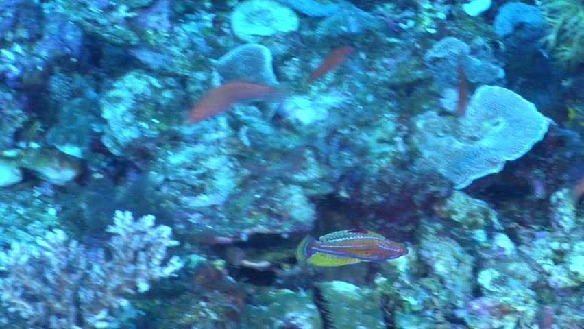 Yellow-fin flasher-wrasse (Paracheilinus flavianalis) flashing underwater in Indonesia