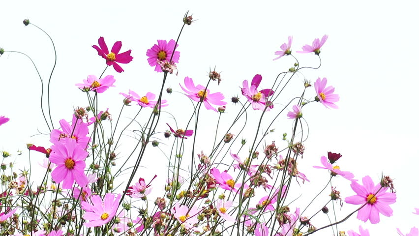 Cosmos Pink Flowers Nature Beautiful Flower