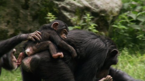 Common Chimpanzee (Pan troglodytes) with two babies playing on grass