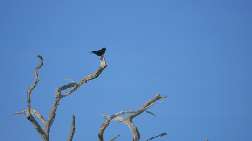 A crow ( Corvus ) sitting on a dead branch. A clear blue sky.  | Shutterstock HD Video #25304078