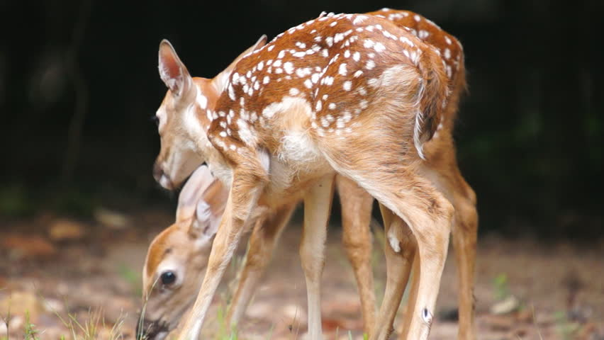 Whitetail Deer fawn eating