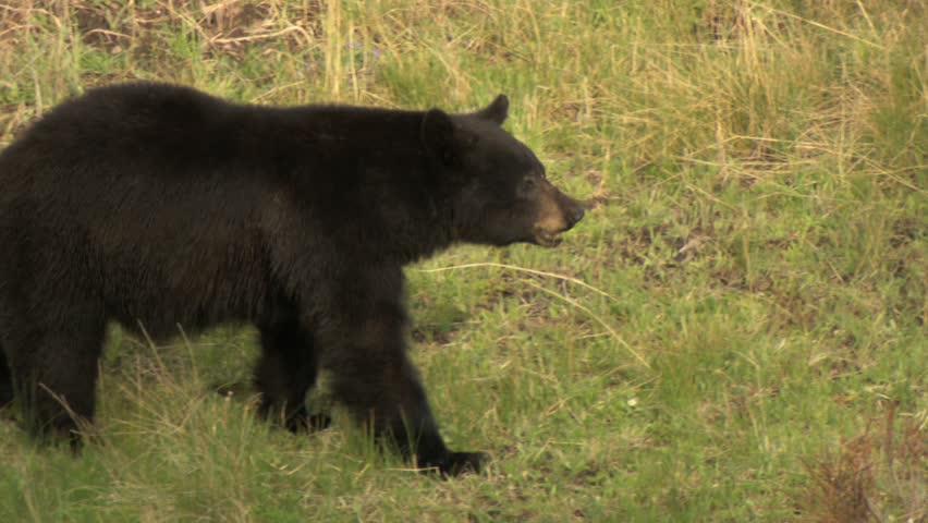 Black bear walking through meadow in Yellowstone