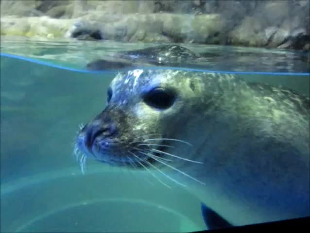 Pinniped definition/meaning