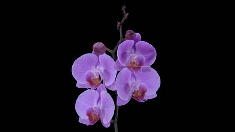 Time-lapse of opening purple Phalaenopsis orchid 5a3 in PNG+ format with ALPHA transparency channel isolated on black background