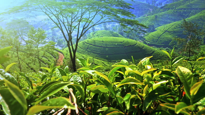 Beautiful tea plantation valley landscape. Hills and roads in rural Sri Lanka. Green fresh foliage leaves ripening in tropical climate of Asian countryside