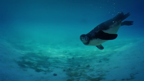 Penguin Swims Up To Camera And Twirls