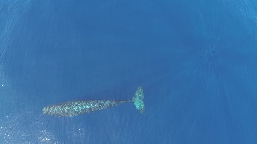 Aerial footage of sperm whale in Azores, Portugal.