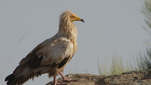 Egyptian vulture also known as the white scavenger vulture in north of portugal