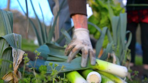 Picking leeks at the orchard - organic vegetables