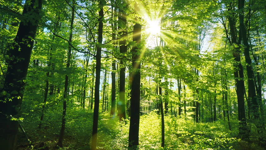 Fresh green beech forest beautifully illuminated by warm rays of the spring sun, with the foliage gently moving in the soft breeze