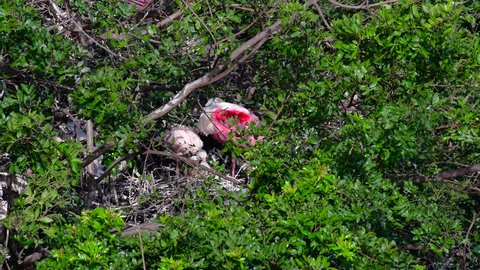 An adult nesting Roseate Spoonbill sits on a nest and tends to its chicks.